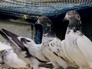 Пакистанские высоколетные голуби