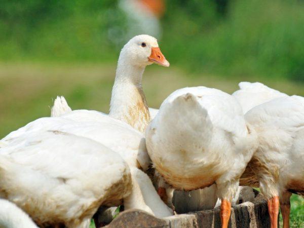 Почему гусята выщипывают перья друг у друга