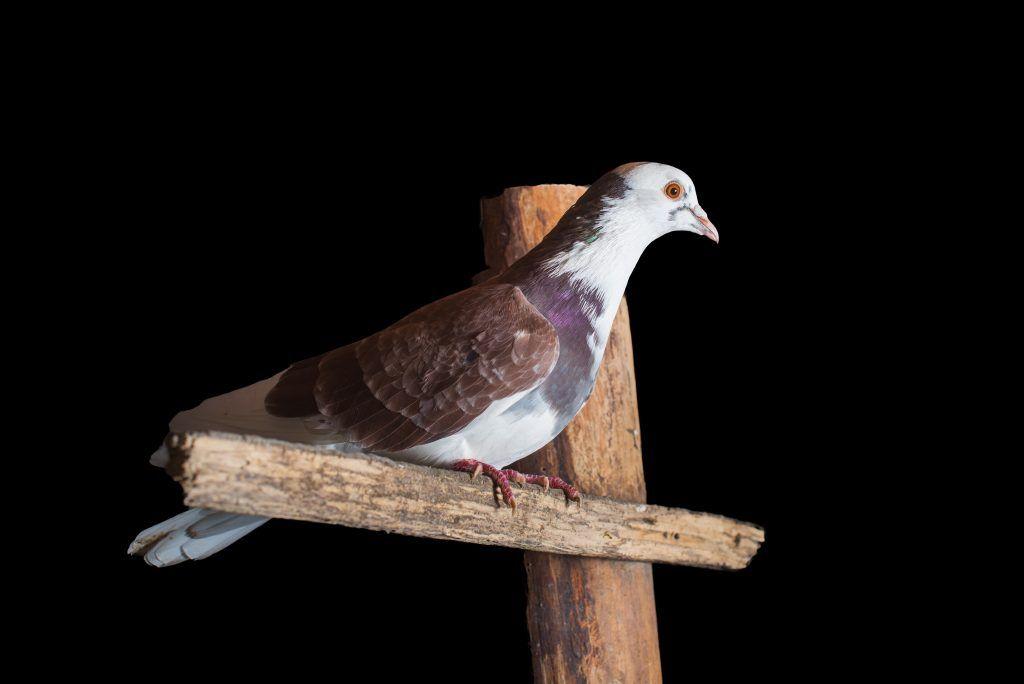 Почтовые голуби: фото, как определяют куда лететь