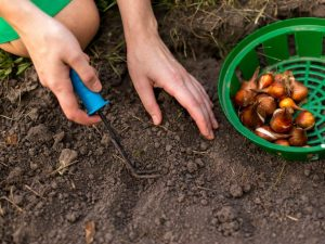 Подготовка лука к посадке весной