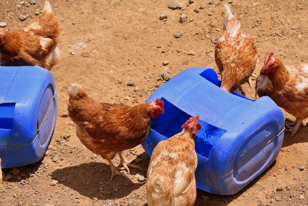 Сооружаем поилки для цыплят в домашних условиях