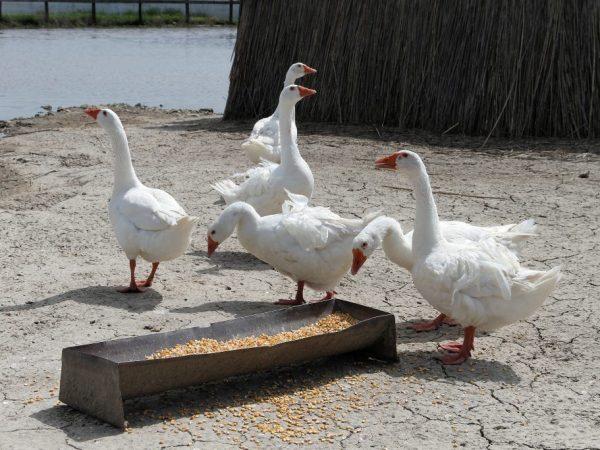 Основные характеристики диких гусей
