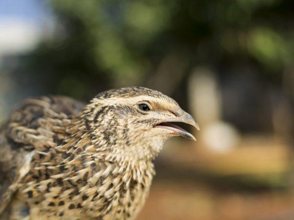 Птица перепелка