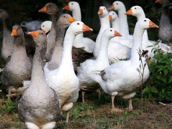Разведение гусей как бизнес