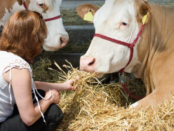 симментальская порода коров характеристика фото
