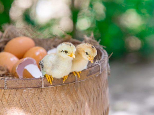 Сколько дней гуси высиживают яйца