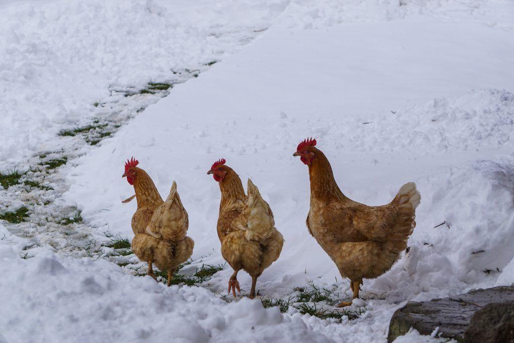 Зимнее содержание кур несушек и уход за курами зимой