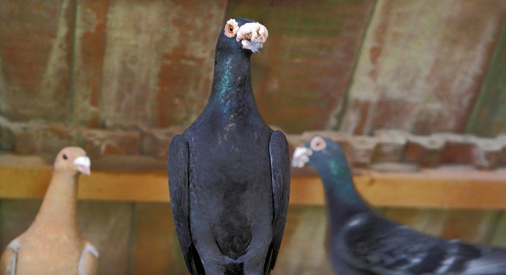 Венгерские голуби венгерский великан