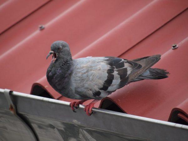Вертячка у голубей