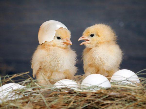 Вес цыпленка бройлера по дням