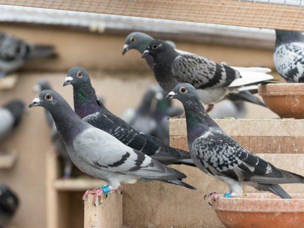 Витамины и лекарства для голубей