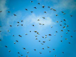 Высоколетные голуби