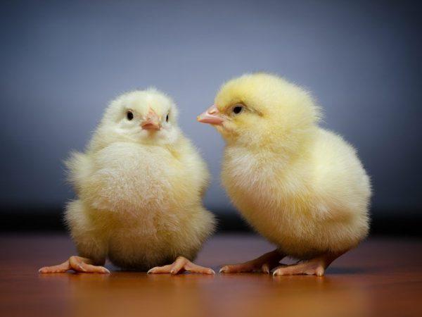 У курицы забит зоб
