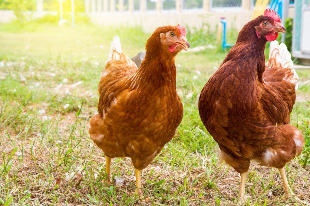 Картинки мясные породы кур