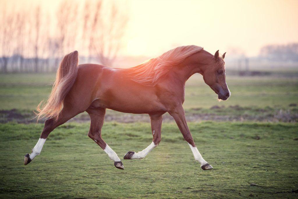 Сколько существует разновидностей арабской лошади