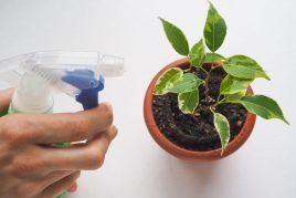 Виды заболеваний фикуса и методы лечения растения