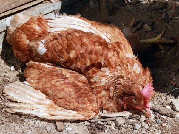 Раздувшиеся красные суставы у цыплят причины компьютерная томография кт плечевого сустава детская