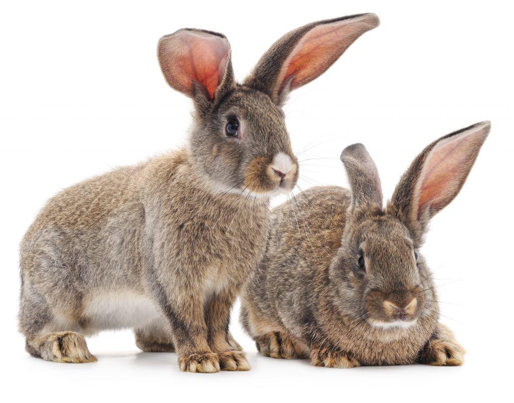 Ушная чесотка  или отодектоз у кроликов.