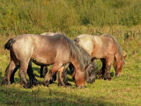 Характер лошадей Бельгийской породы