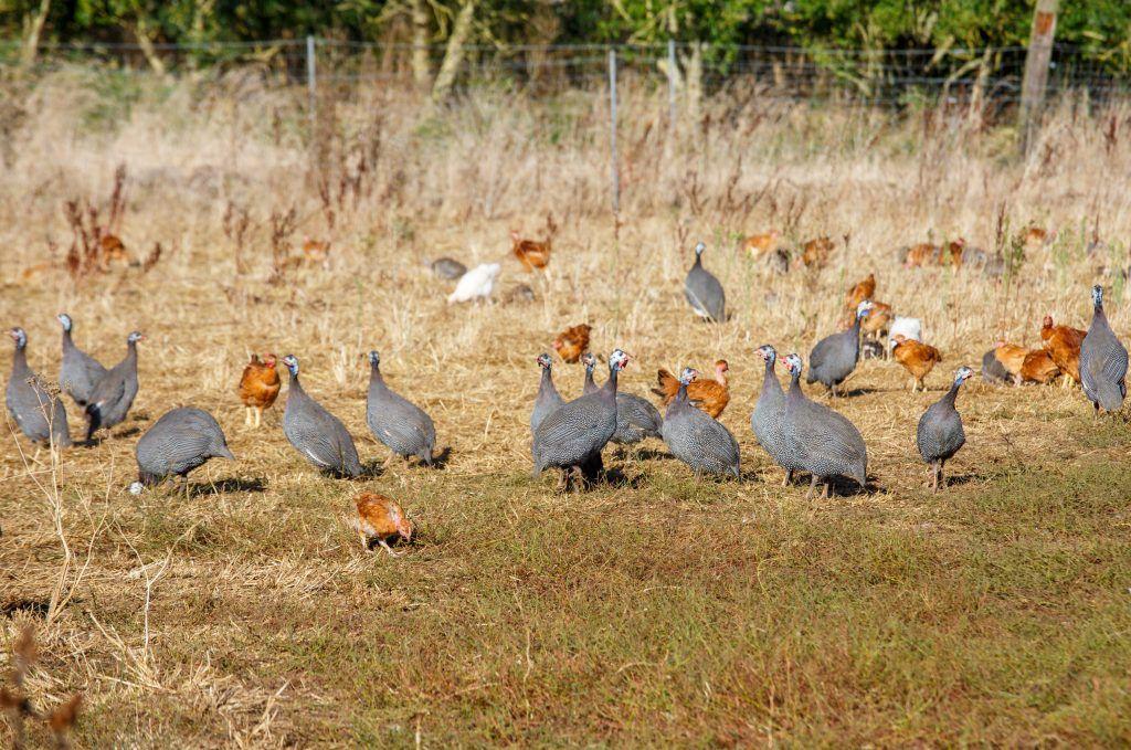 Правила ухода за цыплятами цесарки