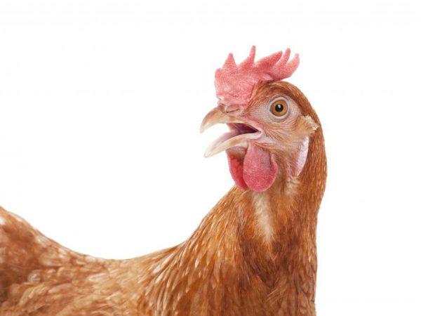 Описание царскосельской породы кур
