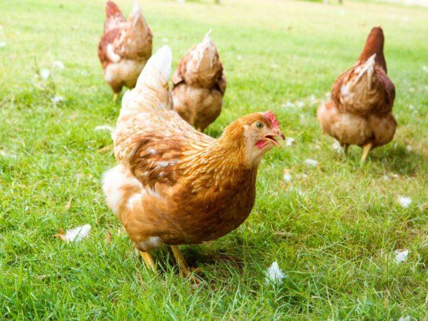 Внешний вид куриц Царскосельской породы
