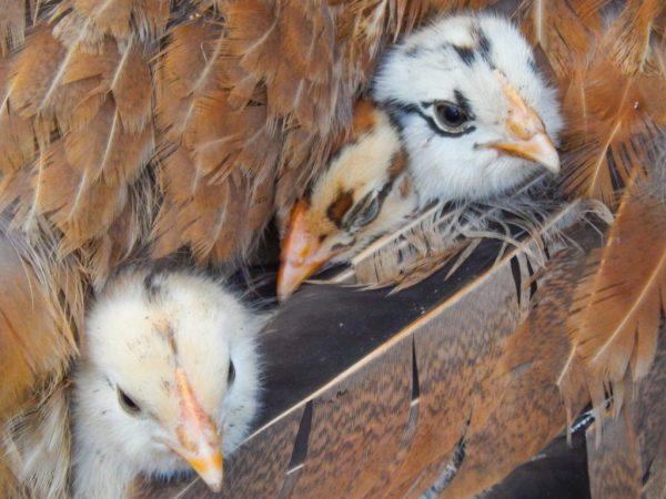 Характеристика цыплят Царскосельской породы