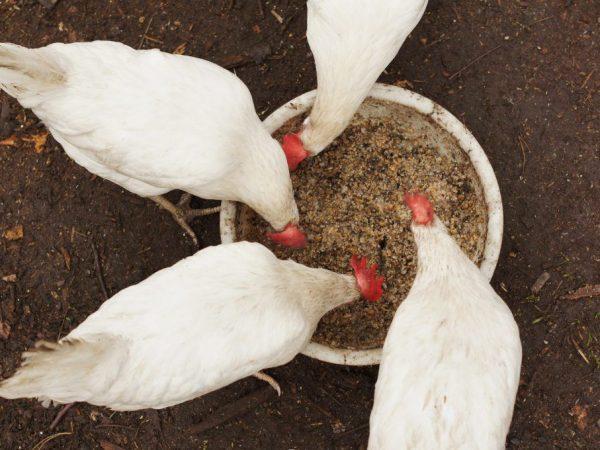 Чем кормить кур несушек