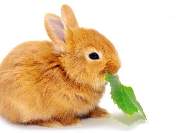 Режим питания кроликов