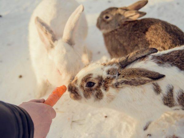 Чем кормят кроликов зимой