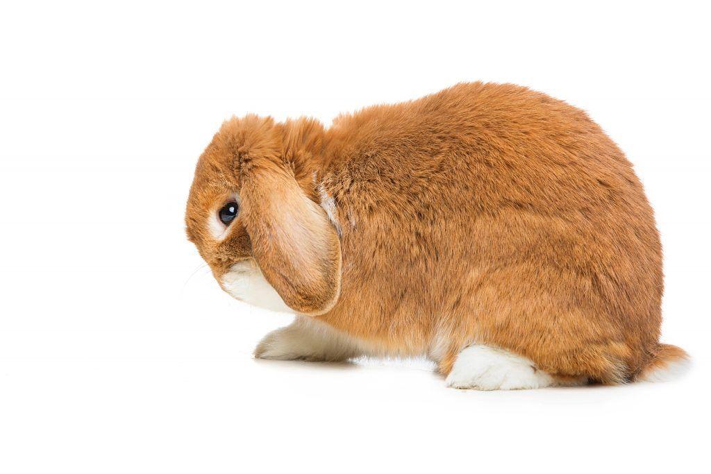 Ушная чесотка у кроликов (Псороптоз): лечение