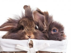 Применение чиктоника для кроликов