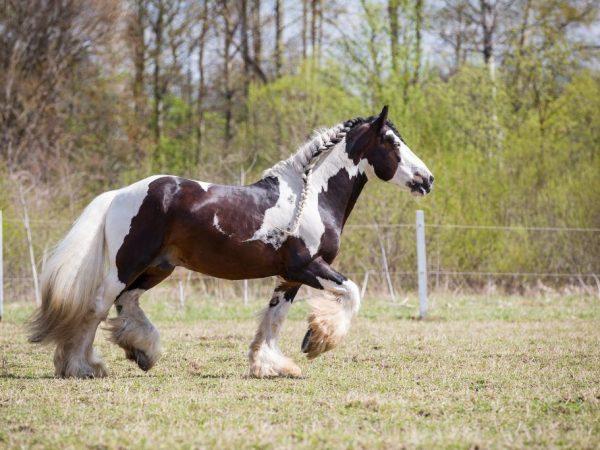 Цыганская лошадь Тинкер