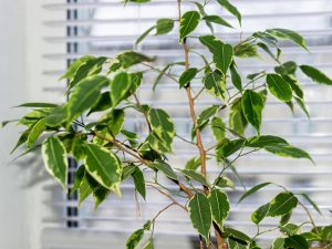 Фикус Бенджамина сбрасывает листья