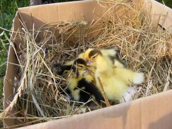 гнездо для утки наседки