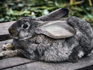 Крольчиха рвет пух, но не делает гнездо