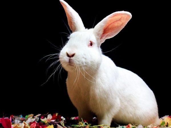 Характеристика кроликов породы Хиколь