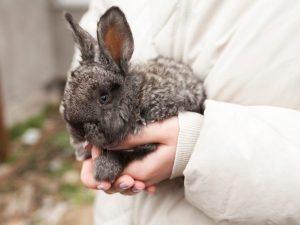 Искусственное оплодотворение крольчих