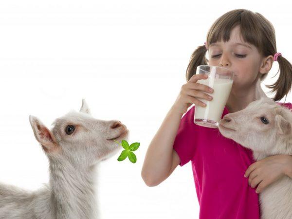 Молоко у козы вкусное и полезное