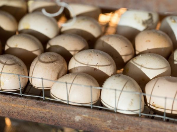 Как заложить куриные яйца в инкубатор