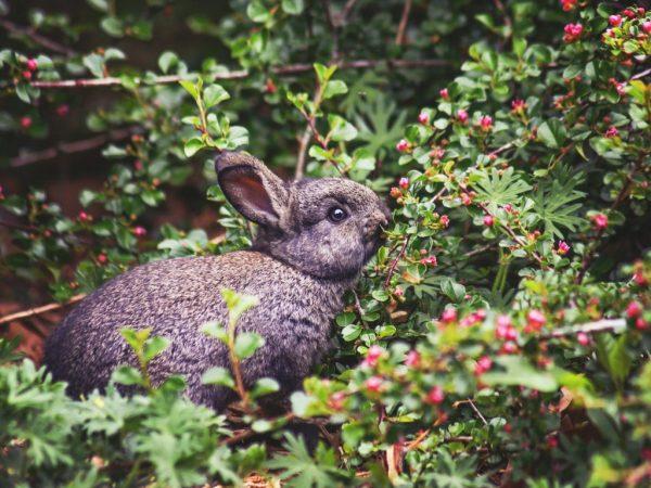 Кормление кроликов ягодами