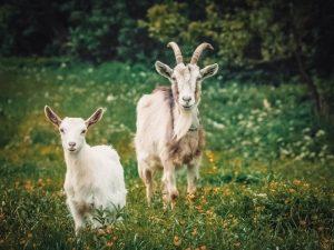 Как кастрировать козла