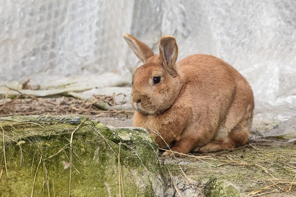 Кастрация кроликов своими руками: описание, видео