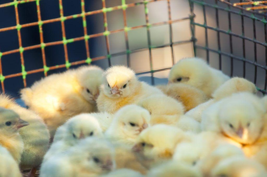 Как сделать клетку для цыплят своими руками: инструкции, фото и видео