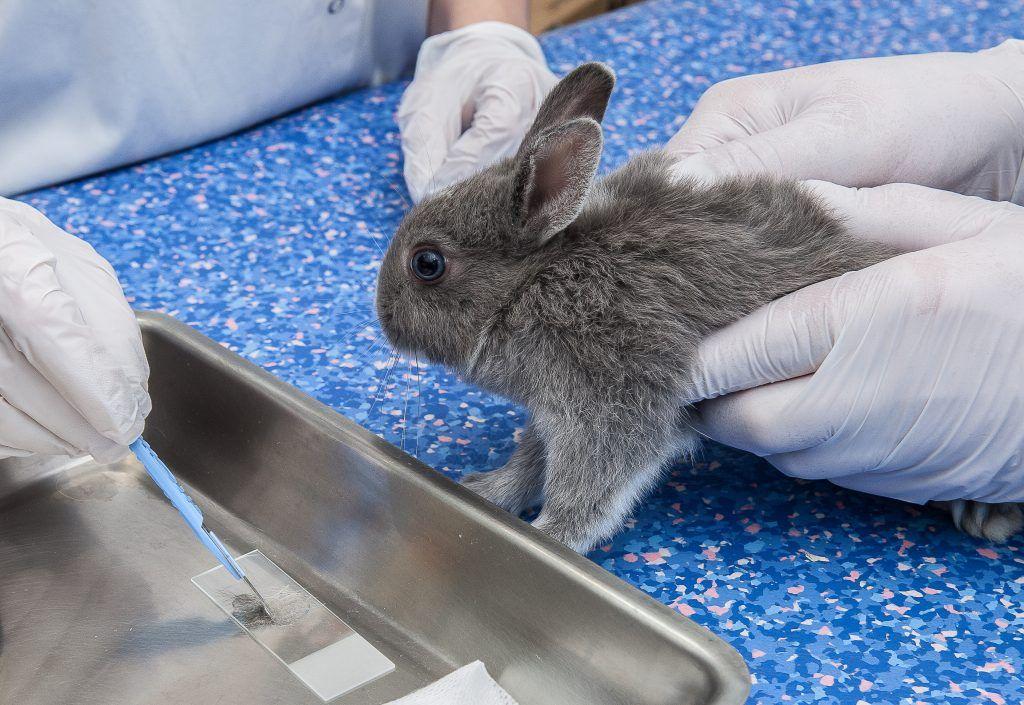 Кокцидиоз у кроликов симптомы лечение профилактика