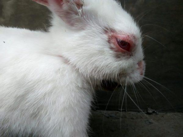 Симптомы конъюнктивита у кролика