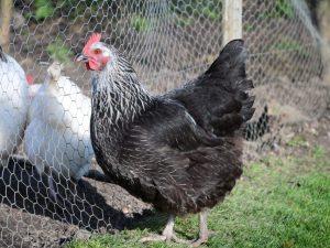 Описание котляревской породы кур