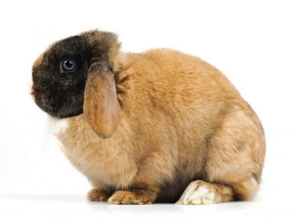 Секрет гигантских кролей