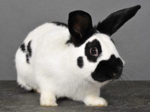 Описание кролика породы Бабочка