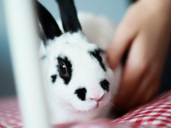 Правила по уходу за кроликами породы Бабочка